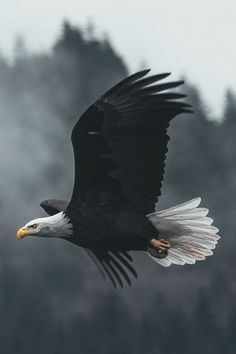 Types of Eagles - American Bald Eagle art portraits, photographs, information and just plain fun The Eagles, Types Of Eagles, Bald Eagles, Eagle Images, Eagle Pictures, Beautiful Birds, Animals Beautiful, Beautiful Pictures, Beautiful Women