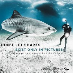 """Racing Extinction on Instagram: """"#Shark populations are declining around the globe, with over 140 species of #sharks listed as endangered, threatened, or near threatened by extinction. Shark fishermen and the shark fin trade have been dealt a blow recently by @UPS who publicly acknowledge that they will no longer be shipping shark fins. Please join us in urging @FedEx not to ship #shark fins by clicking the link in our bio. #SaveSharks #RacingExtinction @shawnheinrichs"""""""