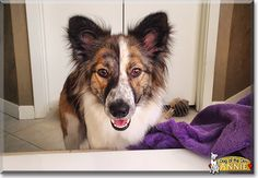 Read Annie Belle's story the Border Collie, German Shepherd Dog from Dallas, Texas and see her photos at Dog of the Day http://DogoftheDay.com/archive/2014/October/10.html .