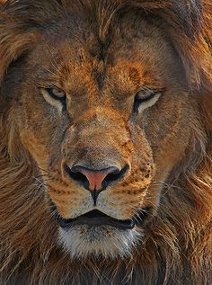 Male Lion | Flickr - Photo Sharing!