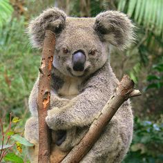 i love koala's!