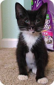 HILLSBORO, OR - Domestic Shorthair. Meet Cyrus, a kitten for adoption…