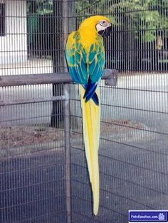 Yellow and blue #macawparrot