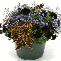 Sunny container of 'Sultana' coleus, 'Waterfall Blue' lobelia and 'Black Velvet' petunia.