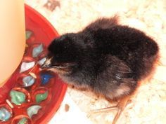 Backyard Chickens: Q & A on raising chicks.