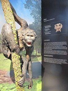 Pierolapithecus catalaunicus (Pau) a l'Institut Català de Paleontologia Miquel Crusafont.JPG