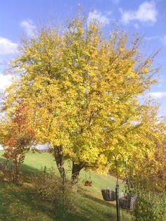 Do zářivě žluté se oblékají morušovníky, a to i ty převislé. Právě krása podzimně zabarveného morušovníku inspirovala v roce 1889 Vincenta van Gogha k namalování jednoho z jeho obrazů.