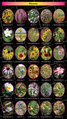 28 Best Nebraska Wildflowers Images Wild Flowers Plants Nebraska