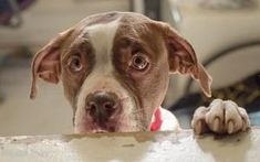 Maggie is an adoptable Boxer Dog in Pomona, NY. Just the most adorable Boxer/Terrier mix, Maggie is a 3 year old stray who is eye-catching attractive.  She is white and chocolate colored with chocolat...