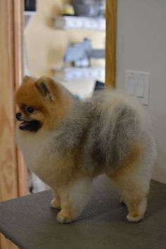 Adorable Pomeranian Pomeranian Haircut Cute Pomeranian Pomeranian Hairstyles Dog Haircuts Pet Grooming