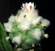Lophophora cactus 1