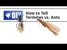 Termites vs Ants - How to Tell the Difference Between Ants & Termites Diy Pest Control, Pest Control Services, Bug Control, Termite Damage, Termite Control, Drywood Termites, Pulling Weeds, Wood Repair