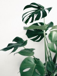 Philodendron...I love the perfectly tropical shape of their leaves