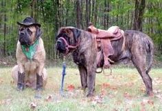 This made my day!! I could really see our Mastiff, Angus decked out like this for Hannah! <3 OMG this cracks me up!!