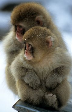 Young Japanese macaques huddle together for warmth