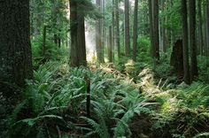 ferns, sunlight thru trees.............Tiger Mtn, near Issaquah, WA