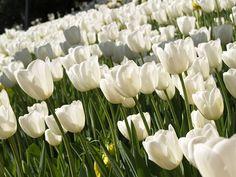 Tulipany, kwiaty, Biały, Natura, wiosna, Ogród