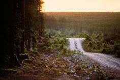 Bear besides a forest road. Kuhmo, Finland, 1993. Antti Leinonen