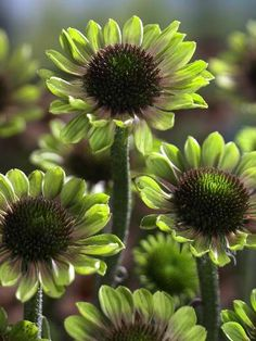 Green Envy Coneflower --I have to try & find this color coneflower!