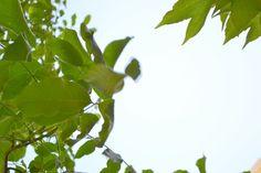 Nußbaumhimmel bei Zickimicki