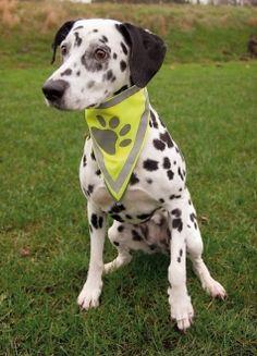 Bandana refleks i gruppen Hund /  Dalmatian Puppy