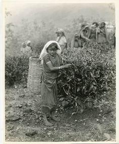 Darjeeling tea pluckers Darjeeling Tea, Amazing India, Mughal Empire, Tea Ceremony, Black White Photos, Hinduism, Sri Lanka, Afternoon Tea, Farms