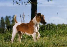 """Résultat de recherche d'images pour """"fox terrier a poil lisse"""""""