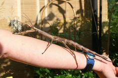 Madagascar giant jumping stick insect Madagascar, Girl Scouts, Bugs, Insects, Exotic, Animals, Animales, Animaux, Girl Guides