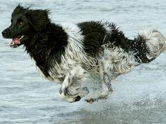Conheça a raça Cão de Aponte Frisão