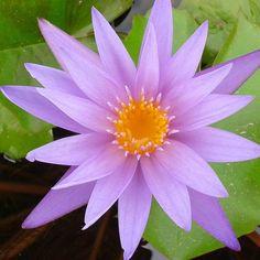 Teri Dunn Tropical Water Lily