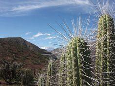 Cactus, IV región