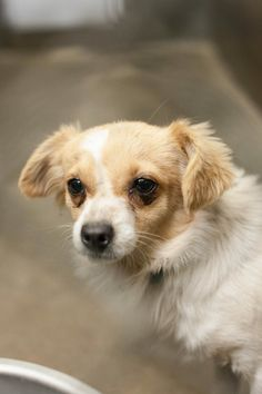 NEXT on DEATH ROW - This girl is getting NO attention and she is adorable!   Terrier mix female 1-2 years  Kennel A20  AVAILABLE NOW*********$51 to adopt   LOCATED AT ODESSA TEXAS ANIMAL CONTROL. https://www.facebook.com/photo.php?fbid=720220231335551&set=pb.248355401855372.-2207520000.1390843549.&type=3&theater