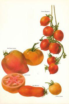 Vintage 1960s Tomato Color Illustration Book Page to frame via Etsy.