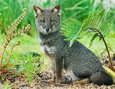 Darwin's fox   the world's rarest fox.  only 200 left     Chile