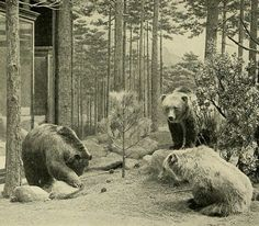 The Mexican grizzly bear (Ursus arctos) is an extinct population of the Brown bear. It reached a length up to metres ft) and an average weight of 318 kilograms lb). Extinct And Endangered Animals, Endangered Species, Mammals, Ours Grizzly, Grizzly Bears, Totems, Parda, Les Continents, Prehistoric Animals