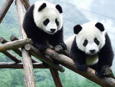 The Giant Panda is as spectacular as they come