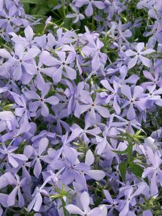 sweet williams perennials | clouds of perfume wild sweet william woodland phlox type perennials ...