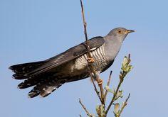 Cuculus canorus vogelartinfo chris romeiks CHR0791 cropped - Common cuckoo - Wikipedia
