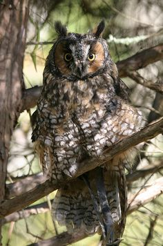 Long eared owl (Asio otus) by Jason Means