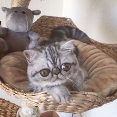 """Herman the Scaredy Cat - (Herman le froussard) est un """"exotic shorthair"""" (race de chat originaire des USA) qui vit à Copenhague avec Shirley, sa propriétaire. Pour l'instant, le chaton n'a pas de problèmes de santé malgré la taille disproportionnée de ses yeux, une anomalie qui peut mener à une luxation du cristallin. Loin d'être rebutée par ce handicap, Shirley a tout de suite adopté le chaton ==> http://www.huffingtonpost.fr/2016/08/04/chat-grumpy-cat-instagram_n_11328590.html"""