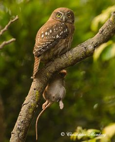 Chuncho with a mouse (Chile) Credit: Christopher Alex Momberg Pumarino Wildlife Paintings, Beautiful Owl, Bird Wings, Owl Crafts, Mundo Animal, Birds Of Prey, Bird Houses, Pet Birds, South America