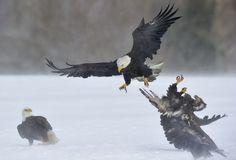 Get Out of My Way by Jose Albero on Eagle Wings, Kestrel, Birds Of Prey, Raptors, Falcons, Bird Feathers, Beautiful Birds, Wildlife, Hawks