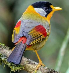 Congrats to @m_pcp_photography for his best bird shot of silver eared mesia. Magnificent lighting, color, sharpness, composition. Checkout his gallery. Follow @mercifulmasterpieces for beautiful sunrise and sunset captures.