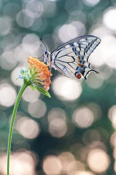 Papilio machaon by Stefano Bertuletti on 500px