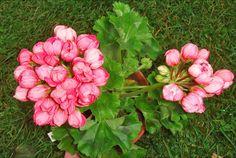 Пеларгония тюльпановидная Patricia Andrea