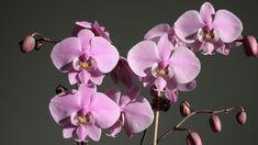 Coajă de banane pentru orhidei! - Pentru Ea Gardening, Plant, Lawn And Garden, Horticulture