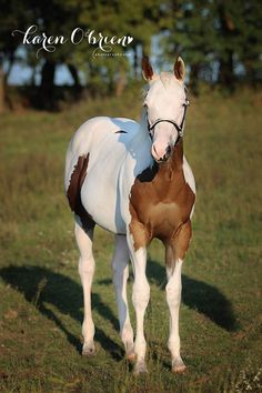 Appointment N Stilettos (By Appointment Only x Bell Bottoms) 2014 Bay Tobiano/Splash White APHA Mare with Partial White Ears All The Pretty Horses, Beautiful Horses, Horse Markings, American Paint, Baby Horses, Horse Ranch, Hipster, Horse Pictures, Horse Photography