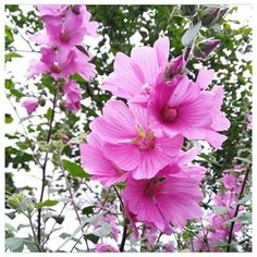 Having a quick morning walk around the garden to enjoy the beauty of nature. Love this Tree Mallow Lavatera, always produces masses of flowers. Natural Beauty, Photo And Video, Videos, Garden, Nature, Flowers, Plants, Photos, Instagram