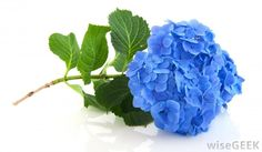 "Blue Hydrangea. Hydrangea come in many colors. Green, light and dark purple, light and dark blue and, of course, white! Hydrangea provide texture and volume to bouquets, centerpieces and arches. They are sold ""by the stem"" (not in a bunch) Per stem they are more expensive than other flowers like roses, however because of their volume you'll need fewer stems"