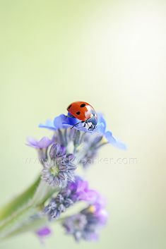 Forget me not lady